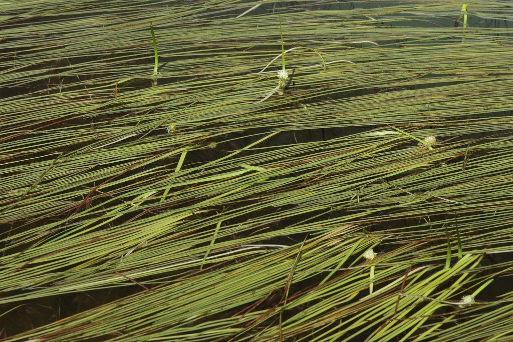 Sparganium angustifolium (Floating Bur-reed)