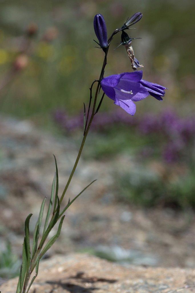 Campanula scheuchzeri (Scheuchzer's Bellflower)