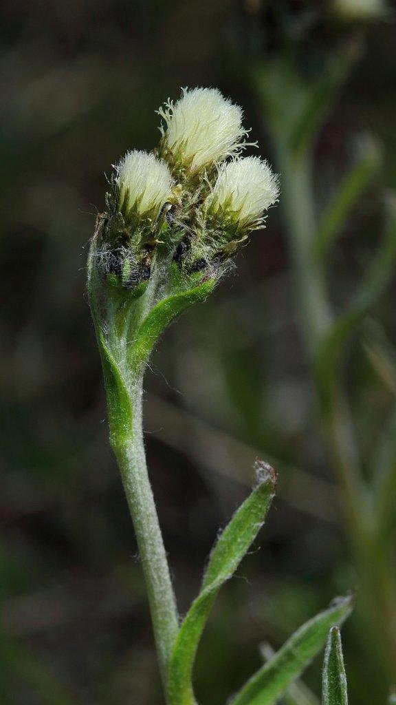Antennaria carpatica (Carpathian Catsfoot)