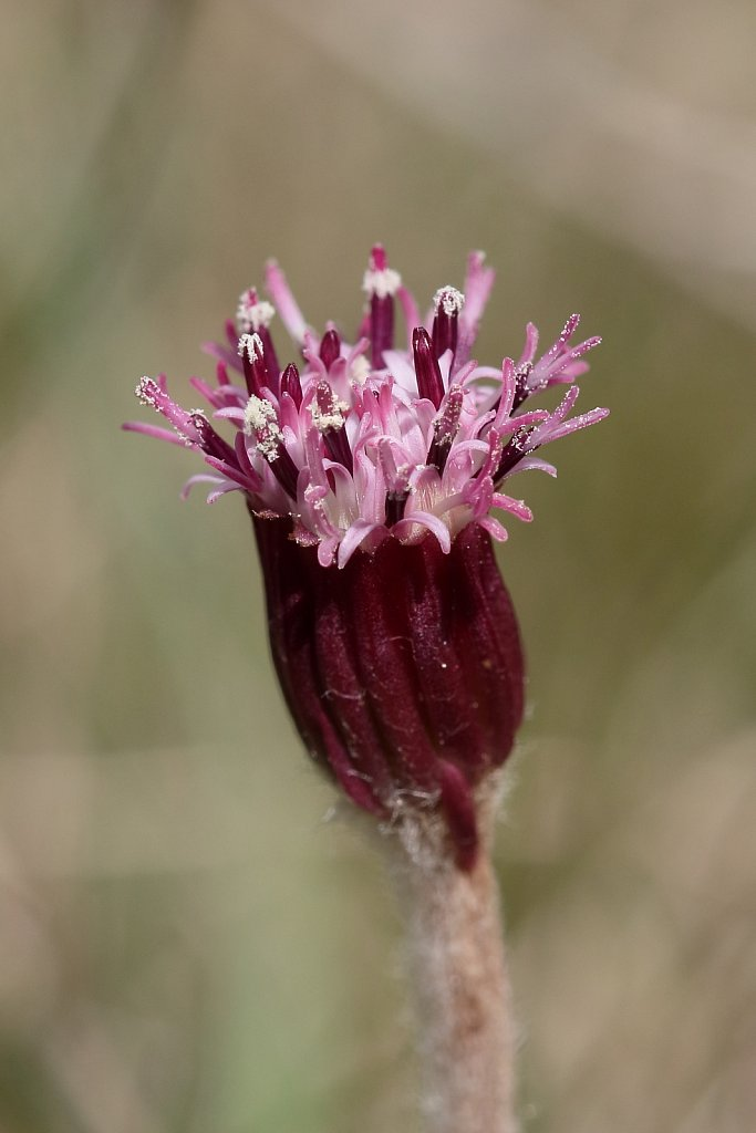 Homogyne alpina (Purple Colt's-foot)