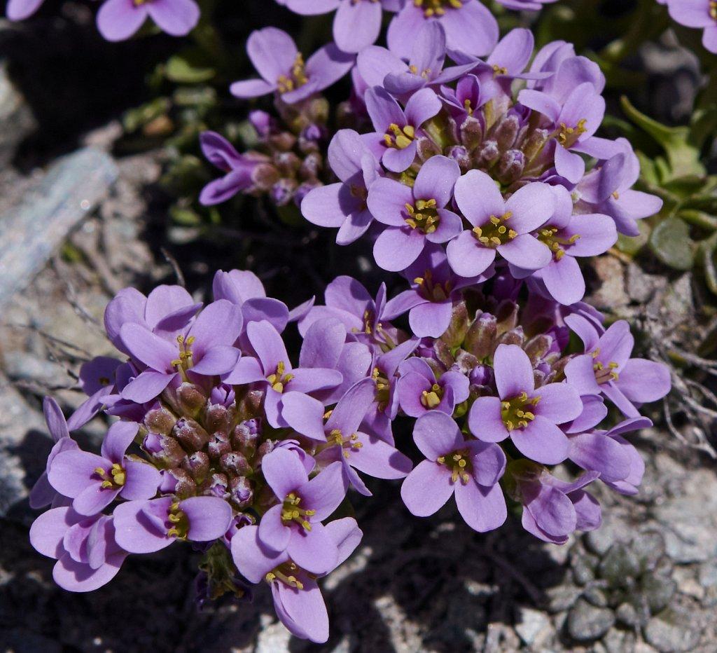 Thlaspi rotundifolium ssp corymbosum (Round-leaved Penny-cress)