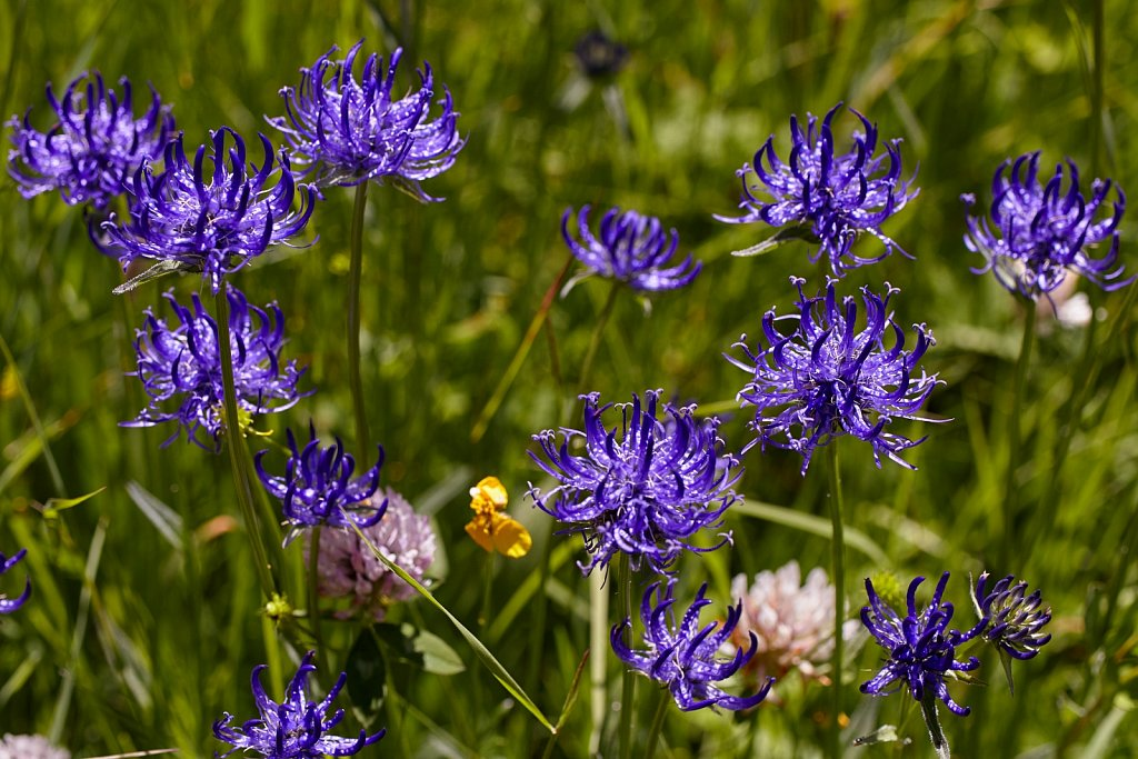 Phyteuma orbiculare (Round-headed Rampion)
