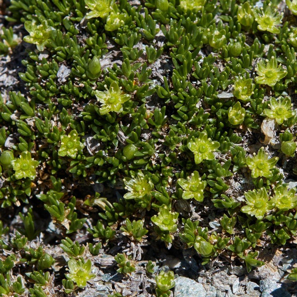 Minuartia sedoides (Cyphel)