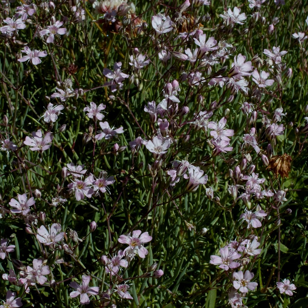 Gypsophila repens (Alpine Gypsophila)