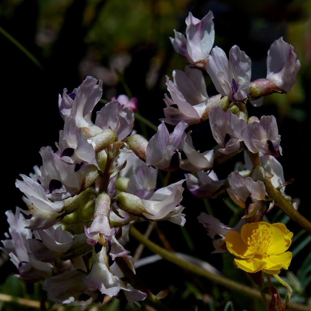 Astragalus australis (Southern Milk-vetch)