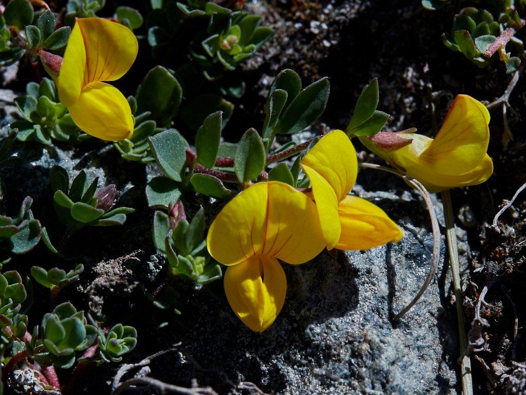 Lotus alpinus (Alpine Bird's-foot-trefoil)