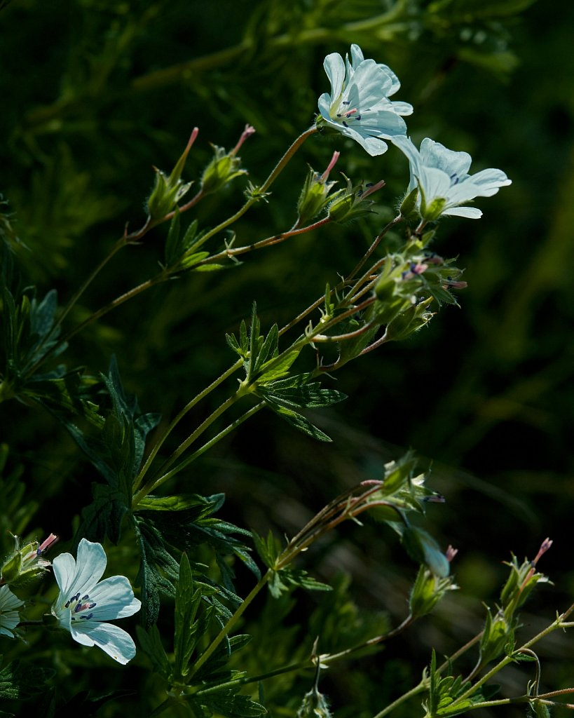 Geranium rivulare (River Crane's-bill)