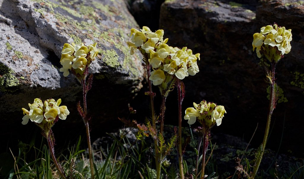 Pedicularis tuberosa (Tuberous Lousewort)