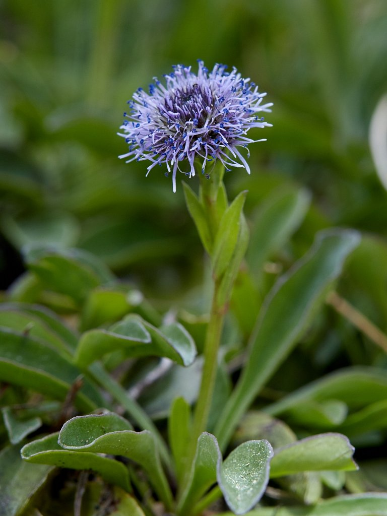 Globularia bisnagarica (Common Globularia)