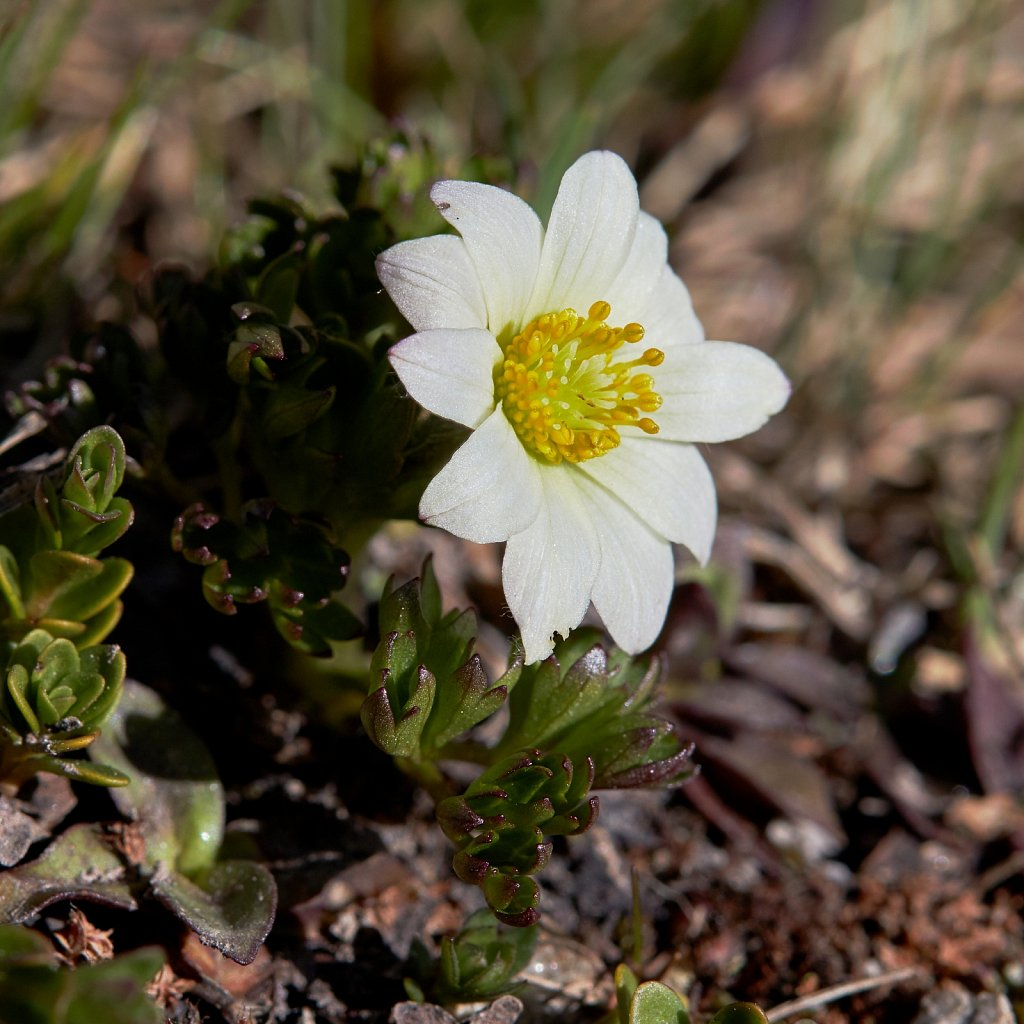 Anemone baldensis ((Mt. Baldo Anemone)