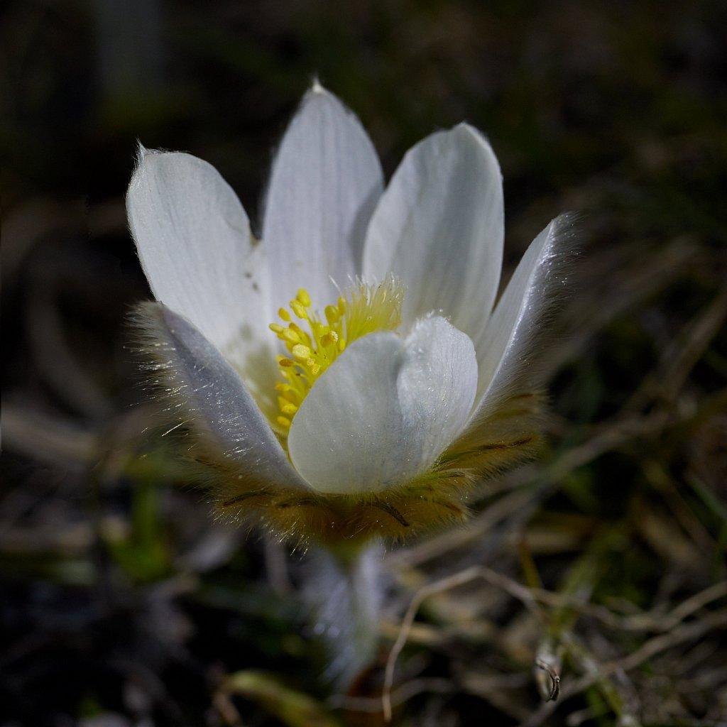Pulsatilla vernalis (Spring Pasqueflower)