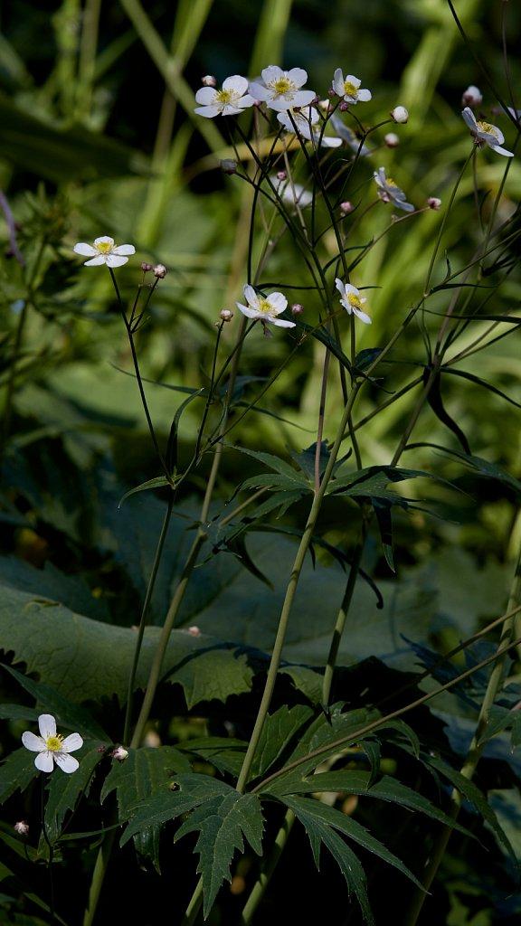 Ranunculus platanifolius (Large White Buttercup)