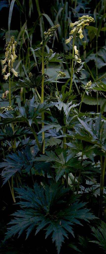 Aconitum lycoctonum ssp vulparia (Wolf's-bane)