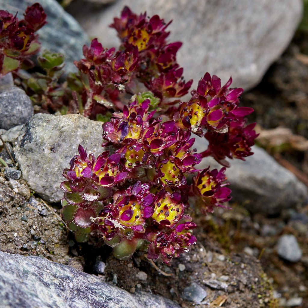 Saxifraga biflora (Two-flowered Saxifrage)