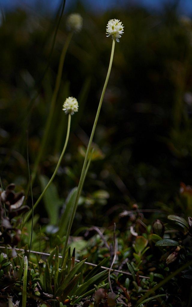 Tofieldia pusilla (Scottish Asphodel)