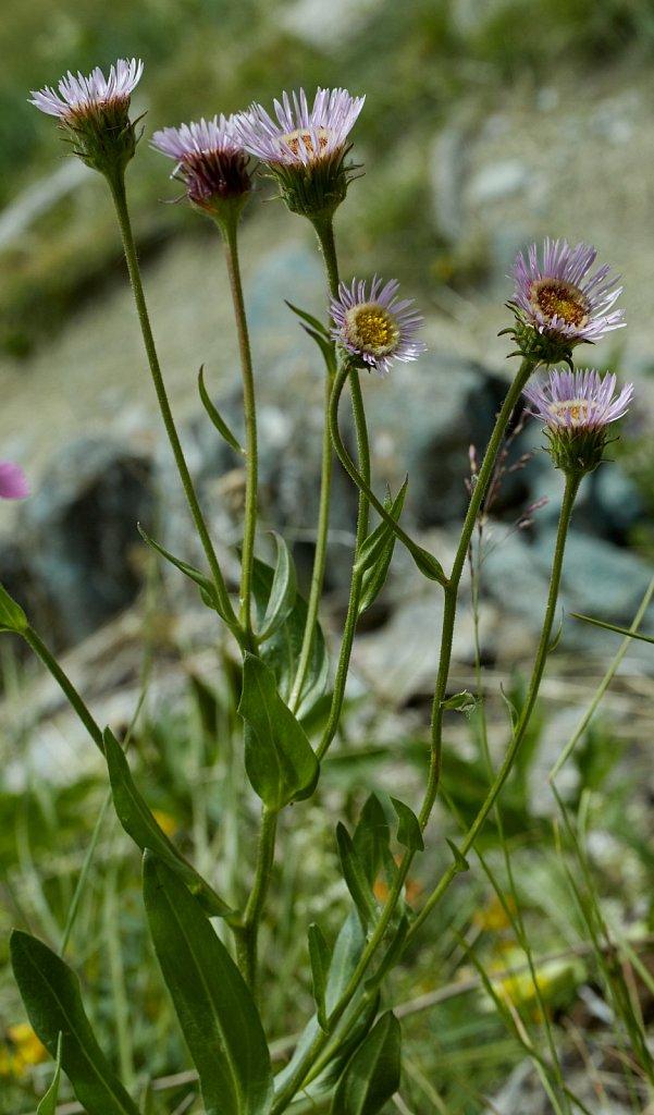 Erigeron gaudinii (Gaudin's Fleabane)