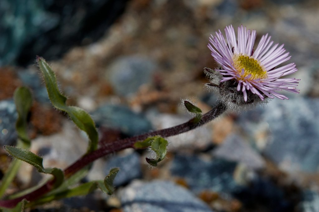 Erigeron neglectus (Neglected Fleabane)