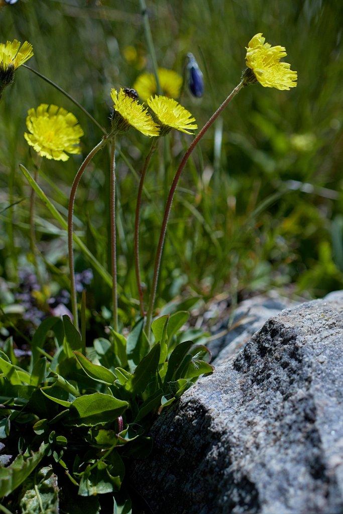Hieracium lactucella (Smooth or European Hawkweed)