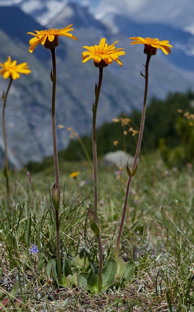 Arnica montana (Mountain Arnica)