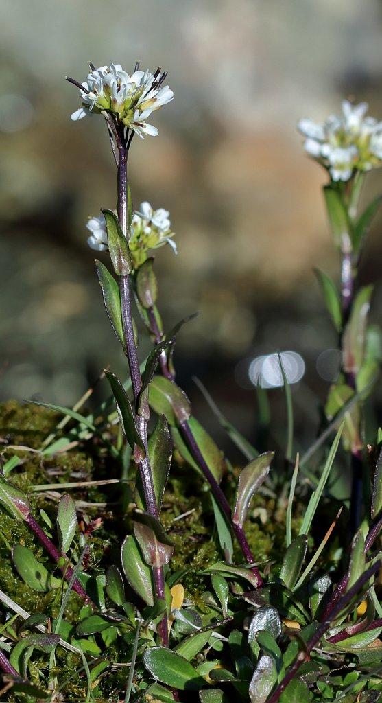 Arabis subcoriacea (Jacquin's Rock-cress)