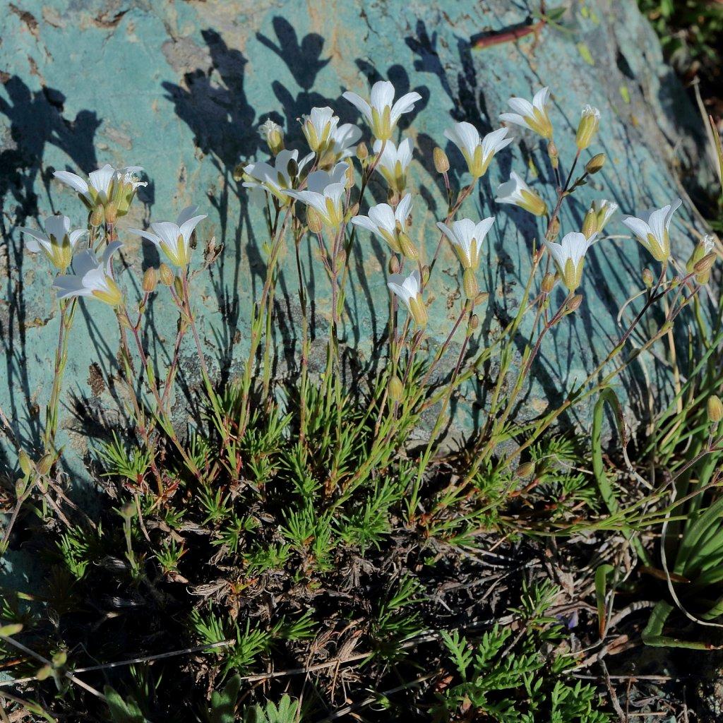 Minuartia laricifolia (Larch-leaved Sandwort)
