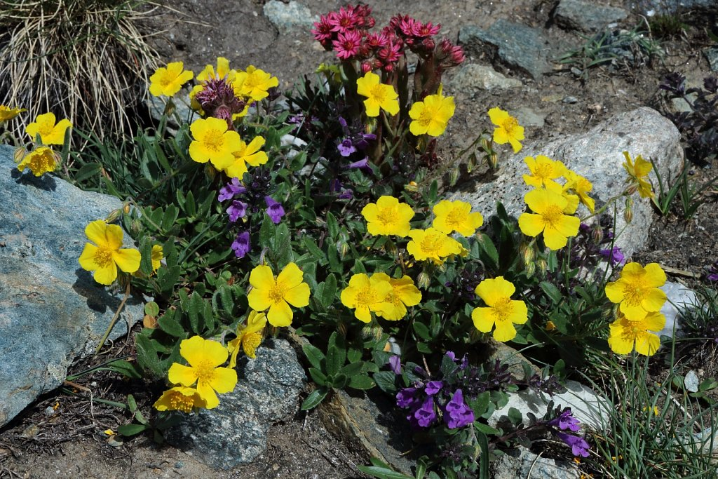 Helianthemum nummularium ssp grandiflorum (Large-flowered Rock-rose)