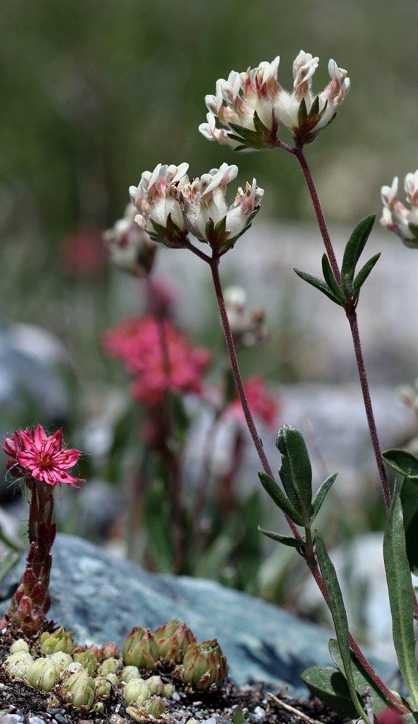 Anthyllis vulneraria ssp valesiaca (Valais Kidney Vetch)