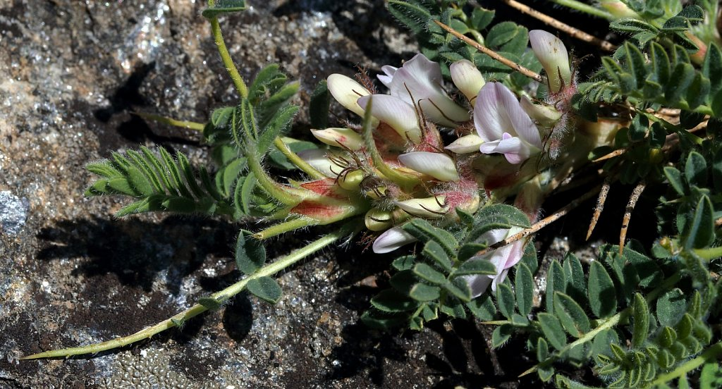 Astragalus sempervirens (Spiny Milk-vetch)