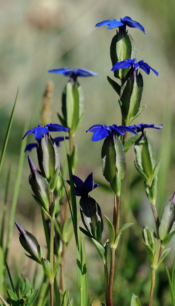 Gentiana utriculosa (Bladder Gentian)