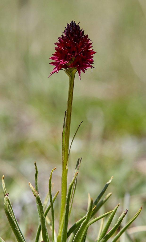 Nigritella rhellicani (Black Vanilla Orchid)