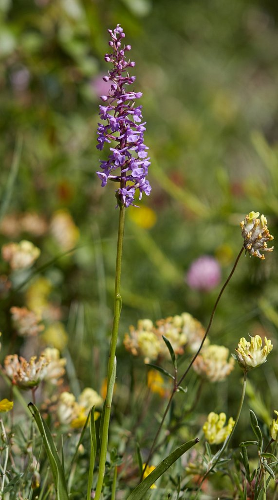 Gymnadenia conopsea (Fragrant Orchid)