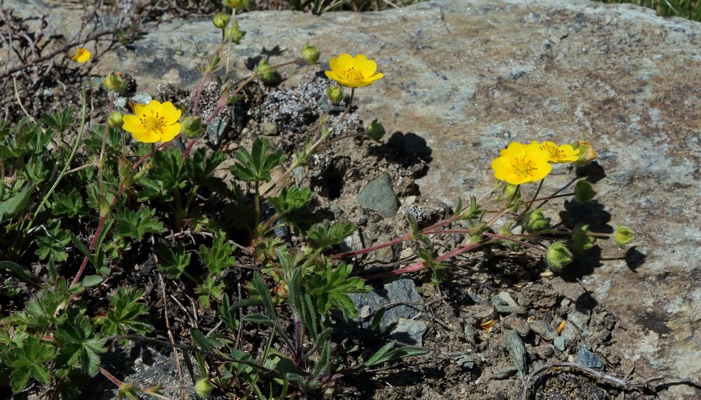 Potentilla crantzii (Alpine Cinquefoil)