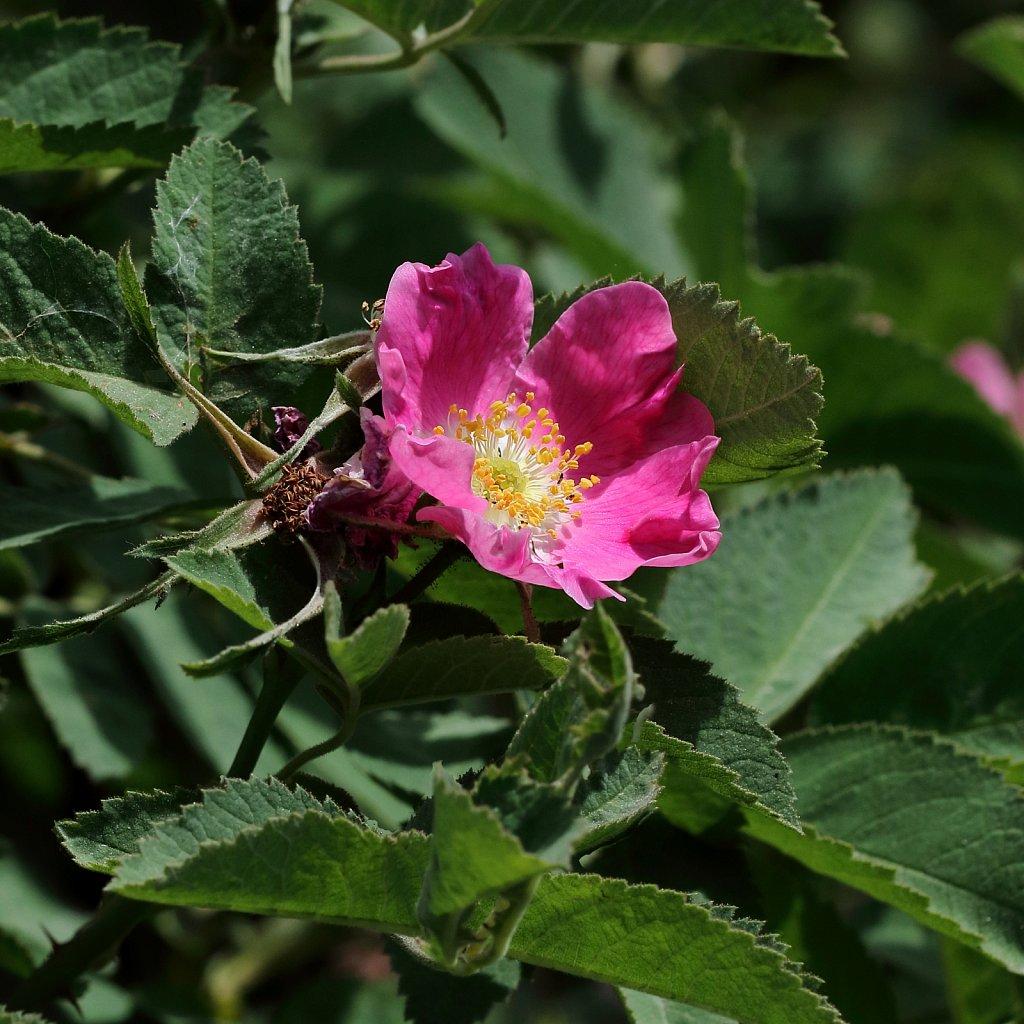 Rosa pendulina (Alpinne Rose)