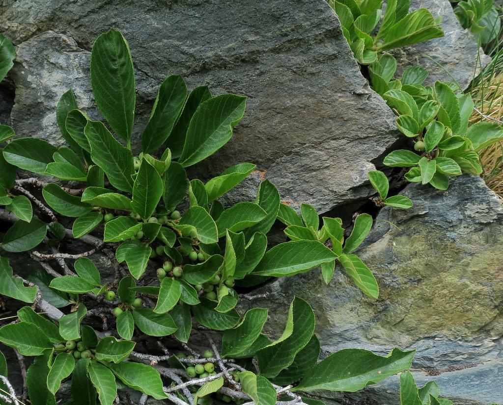 Salix breviserrata (Short-toothed Willow)