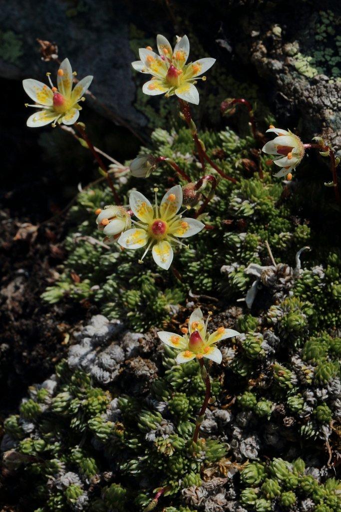 Saxifraga bryoides (Moss Saxifrage)
