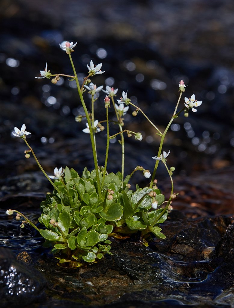 Saxifraga stellaris (Starry Saxifrage)