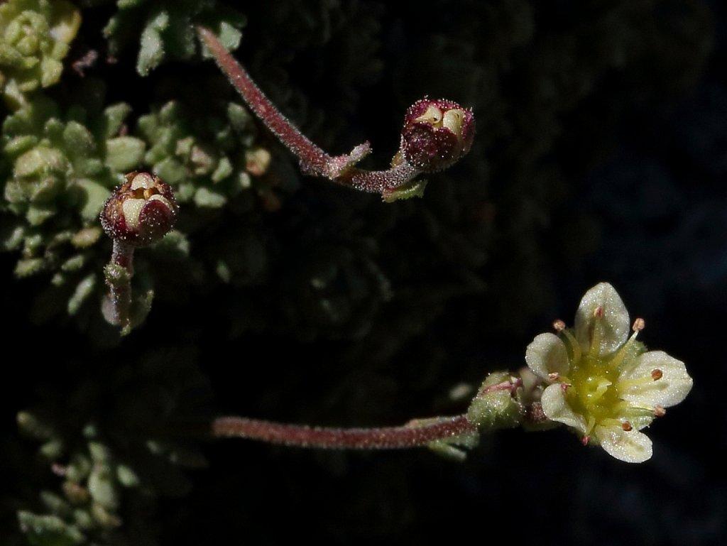 Saxifraga exarata (White Musky Saxifrage)