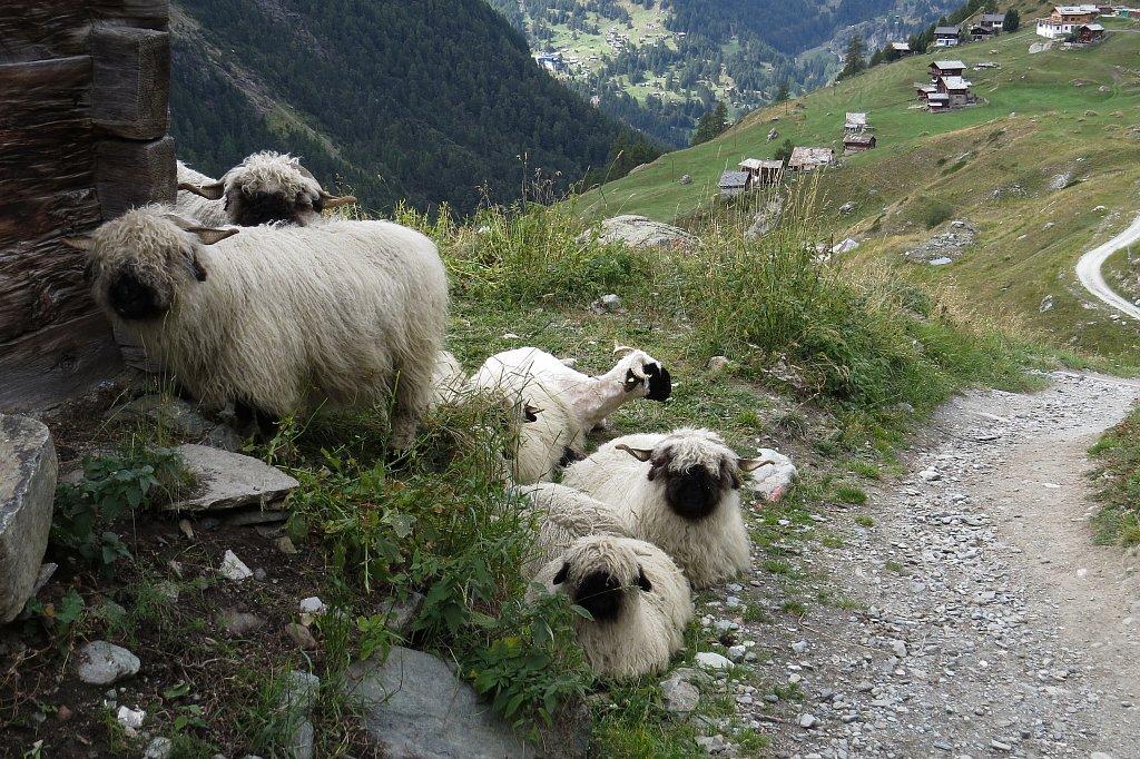Valais-Blacknose-SheepXPNG.jpg